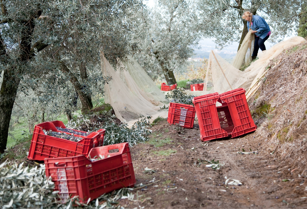 Olivenernte - Italien