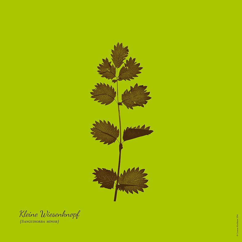 ckirchhain_herbarium09